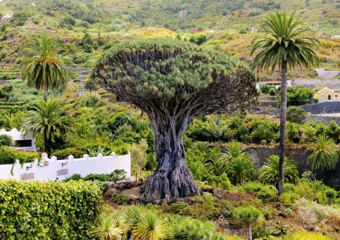 1000 year drago tree (2)