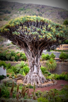 1000 year drago tree (3)