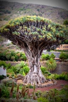 1000 year drago tree (3)